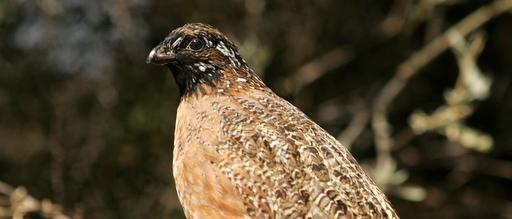 Masked bobwhite quail / Steve Hillebrand
